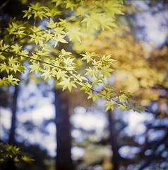 Momiji (yocca) Tags: autumn film nature topf25 yellow t temple kyoto kodak bokeh 100v10f hasselblad momiji japanesemaple  botanic  2012 500cm carlzeiss nagaokakyo portra400  plannar   koumyoji nov2012