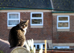 (Amber-Thomas) Tags: street windows roof cat