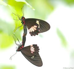 Parides arcas (Glenn van Windt) Tags: paridesarcas closeup macro lepidopterarhopalocera butterflies vlinders insects butterflygarden vlindertuin mylotescattleheart arcasvlinder sigma180mm128apomacrodghsm tropicalbutterfly