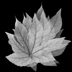 depth with receding greys~,Explored (Wendy:) Tags: explored leaf recedinggreys tonal perspective fatsiajaponica photoshop