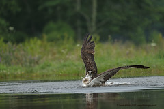 Osprey 2 (Louise Morris (looloobey)) Tags: aq7i5315 osprey pandionhaliaetus scotland july2016 gordon early hide lake fishing splash landing 100400 1dx