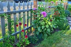 HFF!!  New Dahlia (Reed 1949) Tags: fence flowers coneflower dahlia rudbeckia cucumbers bluerue redsalvia horticulture nikon nikond5200 tamron18270mm shorelinewashingtonstate street happyfencefriday hff