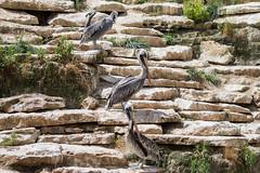 Plicans thage (kilian336) Tags: zoo dou la fontaine bioparc maine et loire anjou france parc animalier animal animaux animals plican thage bird oiseau pelecanus thagus peruvian