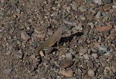 Blending In (harefoot1066) Tags: lizard phrynosomatidae cophosaurus cophosaurustexanus greaterearlesslizard sauria
