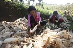 SBC_2015_31Aug_19 (susancorpuz90) Tags: zamboangadelsur cornharvest samal tukuran susancorpuz food foodsecurity