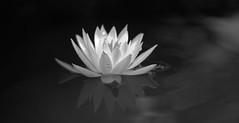 aug21 2016 5 (Delena Jane) Tags: delenajane macro water lily blackandwhite flower pentaxart canada newfoundland ngc