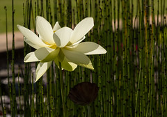 In front of the bamboo curtain (Irina1010) Tags: lotus white flower light bamboo seeds stages pond nature canon ngc npc