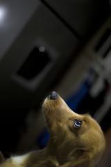 Simona (Roesvisa) Tags: dog perro quiltro casa hogar pensando contemplando looking thinking