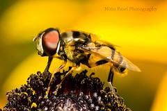 IMG_8434 (nitinpatel2) Tags: macro bee nitin patel