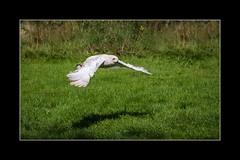 Snowy owl (tkimages2011) Tags: snowy owl bird flying flight grass green turbary preston lancashire turbarywoods sanctuary