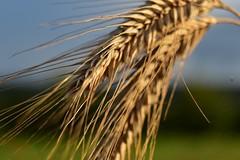 Erntereif (dorotheazinsser) Tags: sommer hre gerste getreide