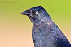 Jackdaw Portrait (Alan-Bryant) Tags: jackdaw jackdawportrait crow crowfamily carrion bird avian canon 1dmkiv 500mm 500f4