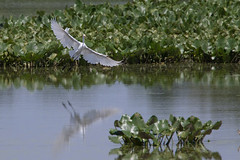 John Heinz National Wildlife Refuge 8-20-2016-220 (Scott Alan McClurg) Tags: aalba ardea ardeidae conservation egret flight fly flying glide gliding greatblueheron green gretegret johnheinzfederalwildliferefuge land landing life nature naturephotography papilionidae park pennsylvania philadelphia pond reflection water wetlands wild wildlife