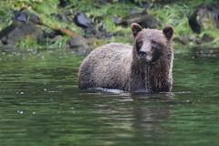 IMG_6599_1 (kalday) Tags: chichagofisland alaska pavlofriver brownbear grizzlybear kodiakbear