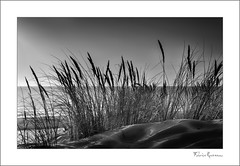 Oyat Collection 1 (fraveneau) Tags: mer sable dune soleil coucher sunset black white noir et blanc gironde aquitaine océan roseaux des sables oyat landscape paysage zen tranquille