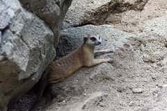 Meerkat Laying (bellemarematt) Tags: disney animal kingdom theme park florida wildlife mammal meerkat suricate suricata suricatta herpestidae mongoose zoo