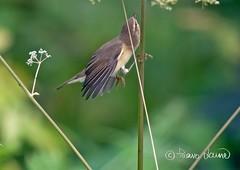 Pajulintu,Phylloscopus trochilus, Willow Warbler (Paavo Laine) Tags: pajulintu phylloscopustrochilus pikkulintu hyönteissyöjä kesä