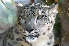 Snow Leopard (RussellK2013) Tags: leopard cat feline d500 70200mmf28vrii 70200mm 70200mmf28gedvrii 70200mmf28gvrii nikon nikkor snowleopard zoo nature ngc wildlife captive sandiego sandiegozoo california pantherauncia