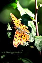 Papillon tachet (PhotOw'graphie) Tags: papillon insecte nature faune sauvage miniature petit beau extrieur t soleil soir naturel libert libre