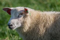 Sheep looking at you (kaifr) Tags: sunshine outdoors sheep wool farm livestock sorum akershus norway no