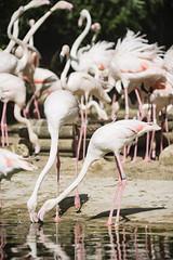 Flamencos (agermay) Tags: sigma 70210mm f28 nikon d7200 zoo animales