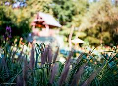 grasses (mfauscette) Tags: fsc ishootfilm istillshootfilm kodak kodakportra400 nj pentax analog film filmisnotdead filmshooterscollective mediumformat pentax645n sculpturegarden
