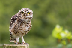 Burrowing Owl (Thelma Gatuzzo) Tags: natureza riograndedosul landscape flora nature thelmagatuzzo viagem 2016 carnaval brasil fauna owl burrowingowl corujaburaqueira