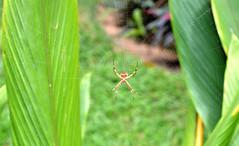 (Zahomi) Tags: nature naturaleza bio araa verde green costa rica