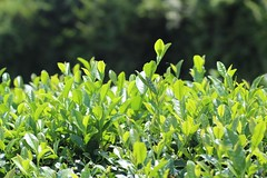 Tea bushes in the summer sun (Obubu Tea Farms) Tags: fields greentea japan japanese japanesetea tea tealeaves wazuka