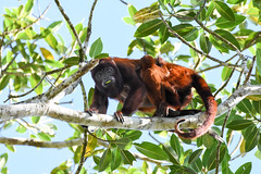 1/2 Red howler monkey - Hurleur roux et bb (geolis06) Tags: geolis06 prou peru per amriquedusud southamerica manu amazonie amazonia rainforest jungle fort forest madrededios biospherereserve parcnationaldeman mannationalpark 2016 patrimoinemondial unesco unescoworldheritage unescosite pantiacollatour nikon nikond7200 sigma sigma150600mmf563dgoshsmcontemporary primate monkey singe alouattaseniculus redhowlermonkey hurleur roux hurleurroux