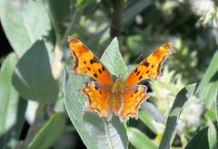 Hoary Comma (Patricia Henschen) Tags: echolake denvermountainparks denver mountainparks mtevansscenicbyway mtevans scenicbyway mountains butterfly hoarycomma colorado idahosprings park