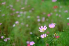 (Minami45) Tags: xpro1 fujifilm pink cosmos japan tokyo     flower bokeh xf35mm
