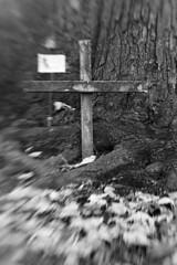 L'abre des jumeaux / The tree of the Twins (baldenbe (on/off)) Tags: bw blackandwhite noiretblanc argentiqeu monochrome nikon f90x lensbaby lensbabycomposer kodak d76 stock trx trix pushed pushed800 cimetiere graveyard cemetery notredamedebelmont quebec saintefoy cross croix twins commemoration