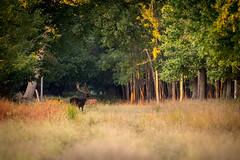 Mlyvd (AduplAti) Tags: damadama forest nature animal hungary gyula