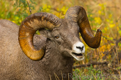 Hello to you too {Explored} (ChicagoBob46) Tags: rockymountainbighornsheep bighornsheep sheep ram yellowstone yellowstonenationalpark nature wildlife explored explore