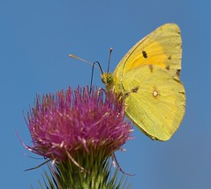 Clouded Yellow, Colias croceus (Rosa Gamboias/ on vacation) Tags: naturaleza insectos portugal nature animals fauna wildlife natureza ngc butterflies insects natura bugs npc ave insetos insecto vidaselvagem coliascroceus cloudedyellow salreu rosagambias