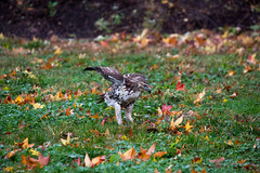 hawk-3928.jpg (HVargas) Tags: bird birds hawk wildlife aves falcon prey chickenhawk falconry redtailedhawk buteojamaicensis carnivoro harrishawk harrisshawk harlans gavilan ractor baywingedhawk duskyhawk ratonerodecolaroja gavilncolirrojo
