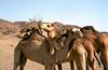 Enneri Miski, Northern Chad (michael_jeddah) Tags: sahara desert chad camel tibesti ennerimiski