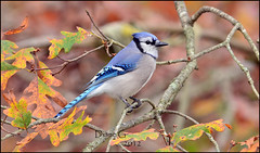 Autumn Blue Jay (Diane G. Zooms) Tags: nature birds bluejay jays bluebirds wildbirds coth supershot thegalaxy specanimal fantasticnature photosandcalendar coth5 sunrays5 magicmomentsinyourlifelevel2