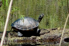 Turtle Through a Window (hardmile) Tags: lake water forest tree trees reptile reptiles wildlife animals nature beautiful outdoors spring turtle turtles sunset