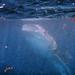 Whale Shark-6