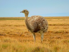 A and (rhea) in its natural habitat (Germn Vogel) Tags: chile patagonia bird latinamerica southamerica animal fauna rhea magallanes senootway darwinsrhea and