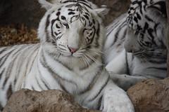 Linmao Yangyu (Olaya Garcia) Tags: white blanco canon eos tiger canarias lp tenerife tigris tigre whitetiger loroparque panthera pantheratigris tigreblanco 1000d