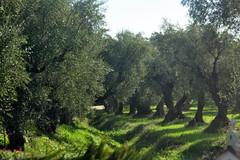 Olive Grove (RobW_) Tags: november grove olive greece tuesday zakynthos 2012 sarakinado nov2012 13nov2012