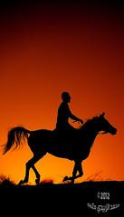 سيلويت: الخيل وخيالها 1215 (momazo) Tags: sunset horse sun silhouette night mare run knight شمس خيال غروب فارس faras حصان خيل فرس اسطبل خيالة سيلويت