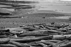 9532 Logpile Dog (eyepiphany) Tags: dog beach solitude driftwood blackandwhitephotography logpile smugglerscove oregonbeaches shortsandsbeach