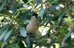 Azores Bullfinch (Baractus) Tags: john oates azores saomiguel azoresbullfinch