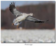 Oie des neiges / Snow Goose  IMG_2934 (salmo52) Tags: birds flight oiseaux bif birdinflight snowgoose chencaerulescens oiesdesneiges oiseauxqubec quebecbirds salmo52 alaincharette