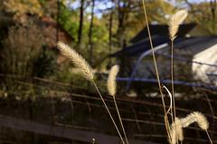 Suntar 135mm f2.8 sample,008 (In Memoriam: Ebanator) Tags: new portrait grass canon lens screw bokeh farm lawn fair mount telephoto m42 jersey f28 135mm 13528 garretson 60d suntar suntar135mmf28 garretsonfarm suntarlens