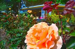 The Rose Garden (autumnwaters) Tags: rose closeup spring cafe australia canberra rosebuds porkbarrel nationalrosegardens me2youphotographylevel1